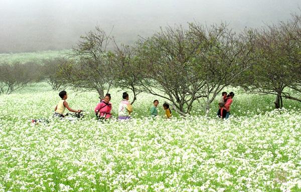 Mùa hoa cải trắng Mộc Châu